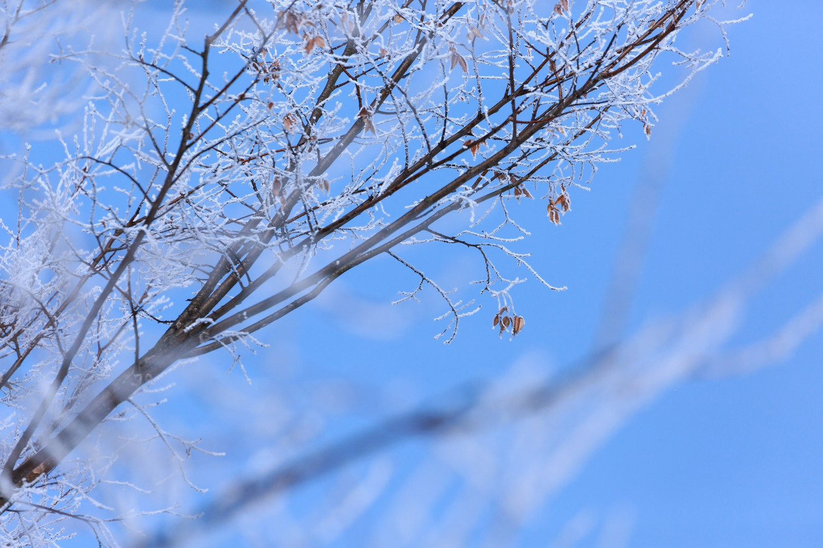 「枝に凍り付いた雪」の写真