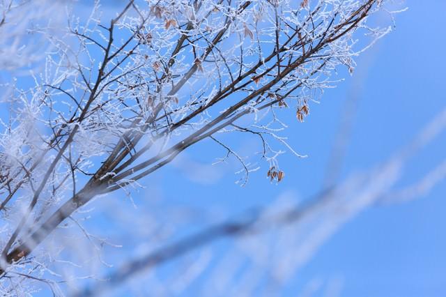 枝に凍り付いた雪の写真