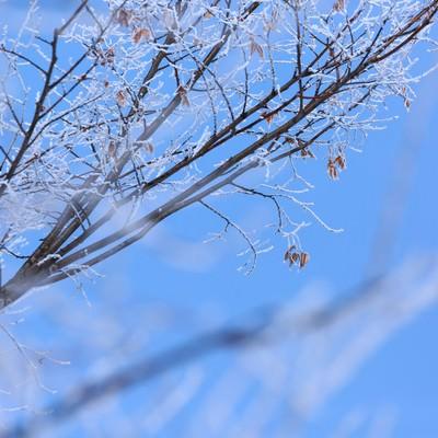 「枝に凍り付いた雪」の写真素材
