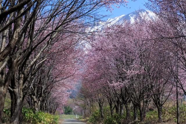 岩木山と山桜の写真