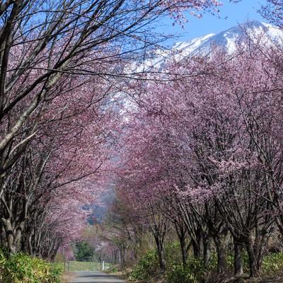 「岩木山と山桜」の写真素材