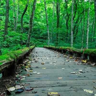 「奥入瀬の苔橋」の写真素材