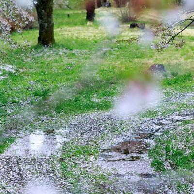 「桜の散る後」の写真素材