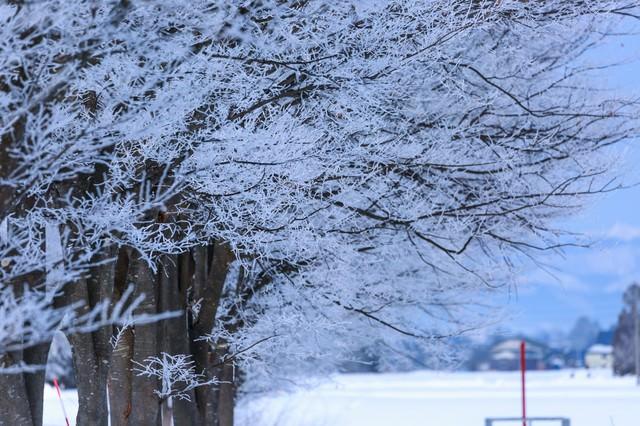 雪桜の写真