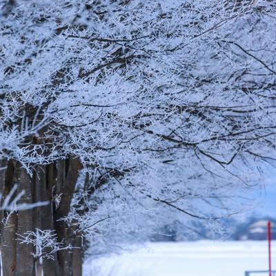 「雪桜」の写真素材