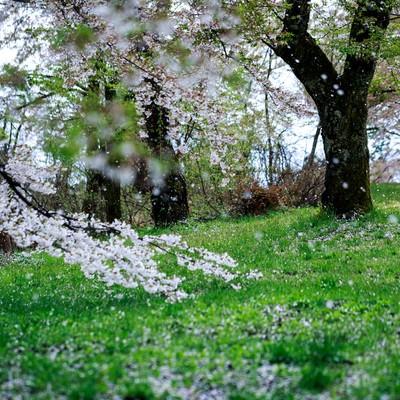 「桜が散る」の写真素材
