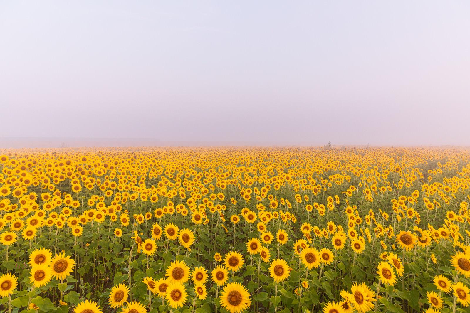 「朝霧に包まれる向日葵畑(山元町)」の写真