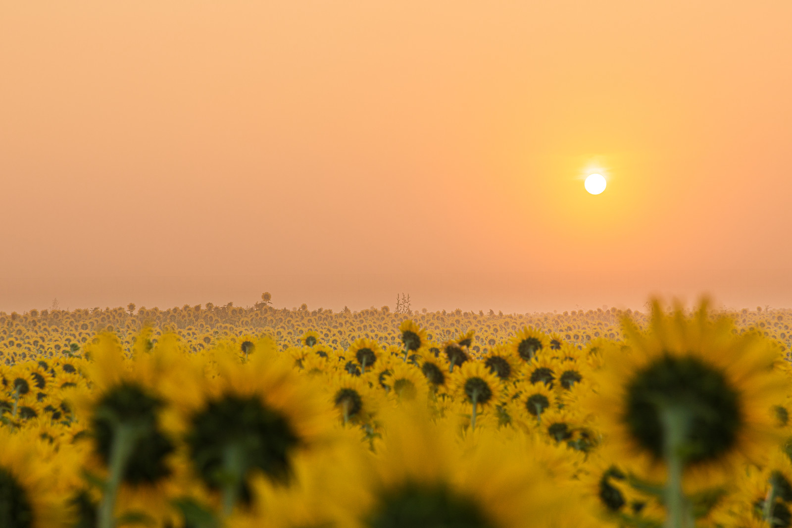 「朝霧に浮かぶ朝日と向日葵畑」の写真