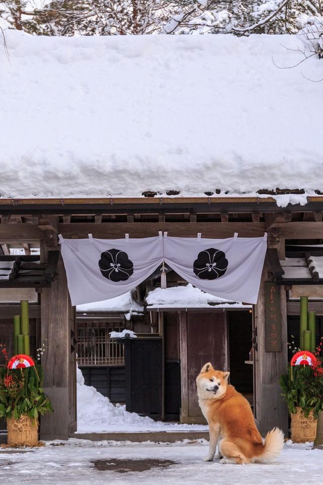 正月かざりと角館武家屋敷前の秋田犬の写真