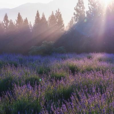 ラベンダー園の朝の写真