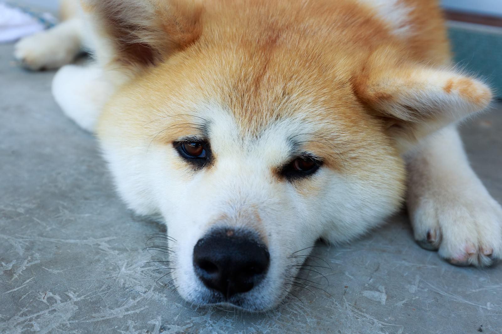 「怠惰な秋田犬」の写真