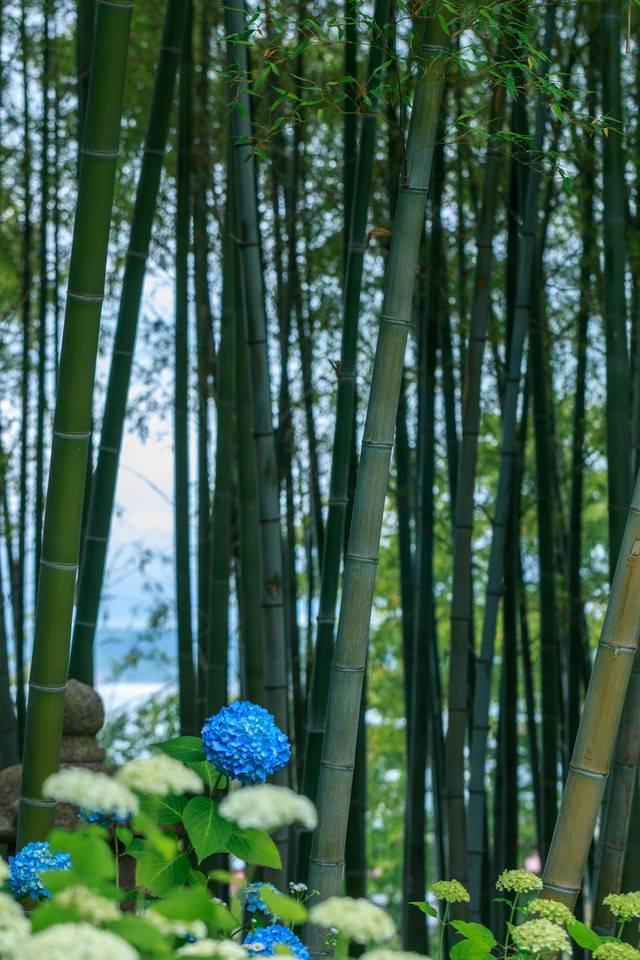 竹林とあじさいの写真