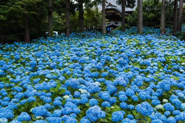 青い紫陽花が広がるの写真