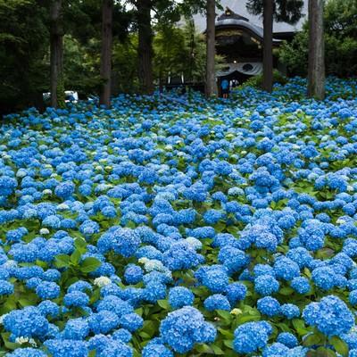 「青い紫陽花が広がる」の写真素材