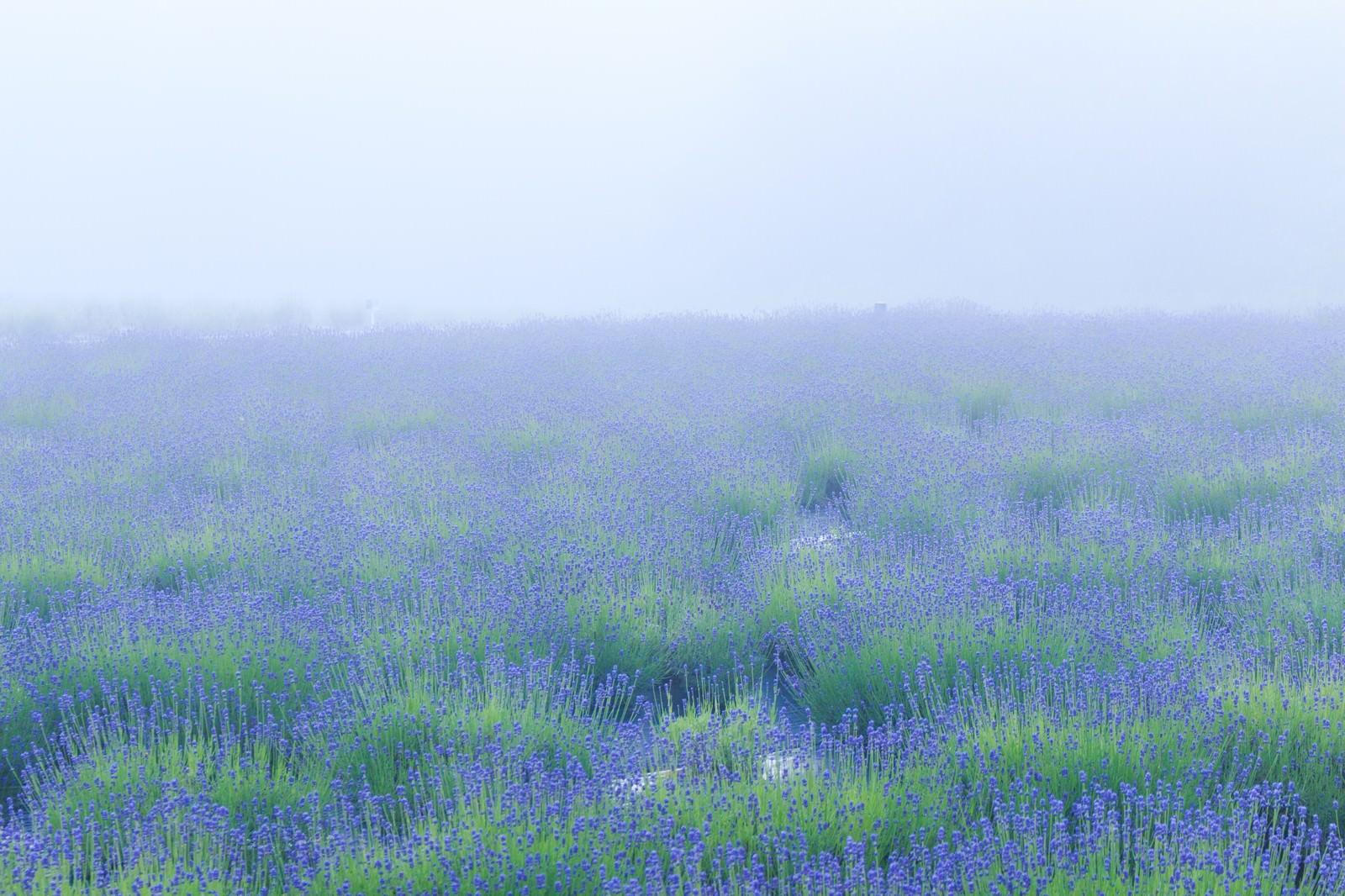 「霧の中のラベンダー畑」の写真