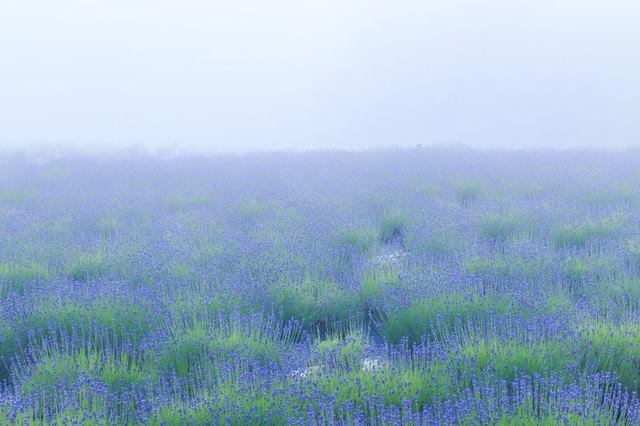 霧の中のラベンダー畑の写真