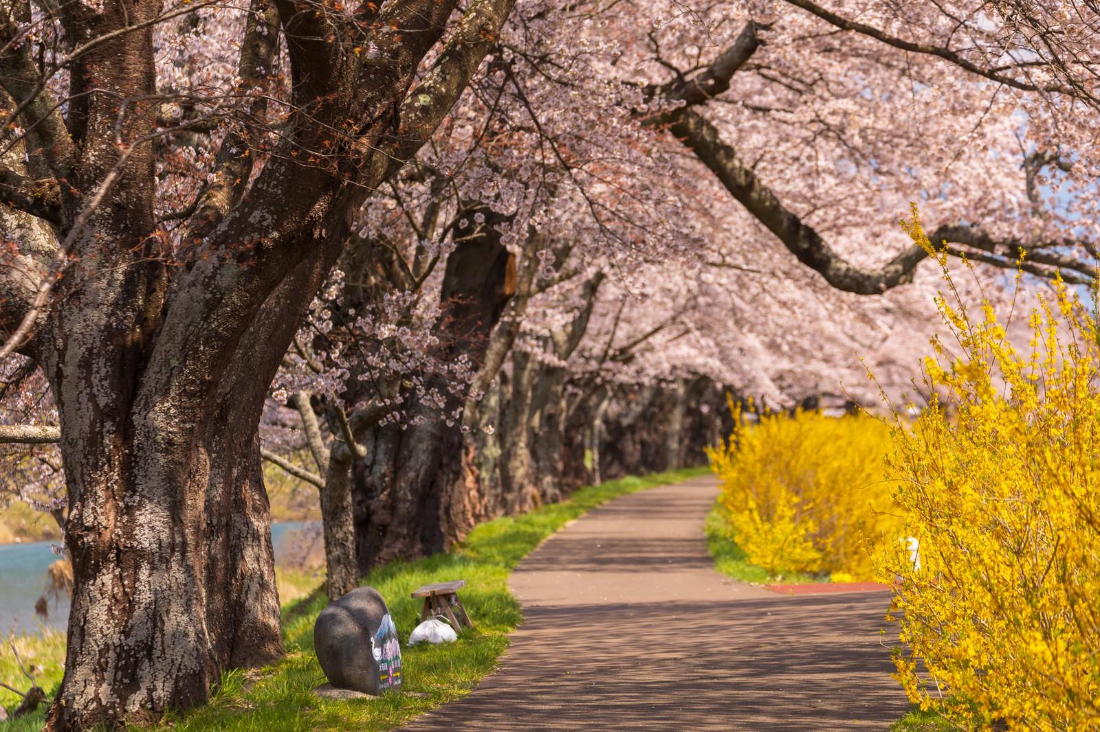 「一目千本桜の並木道」の写真