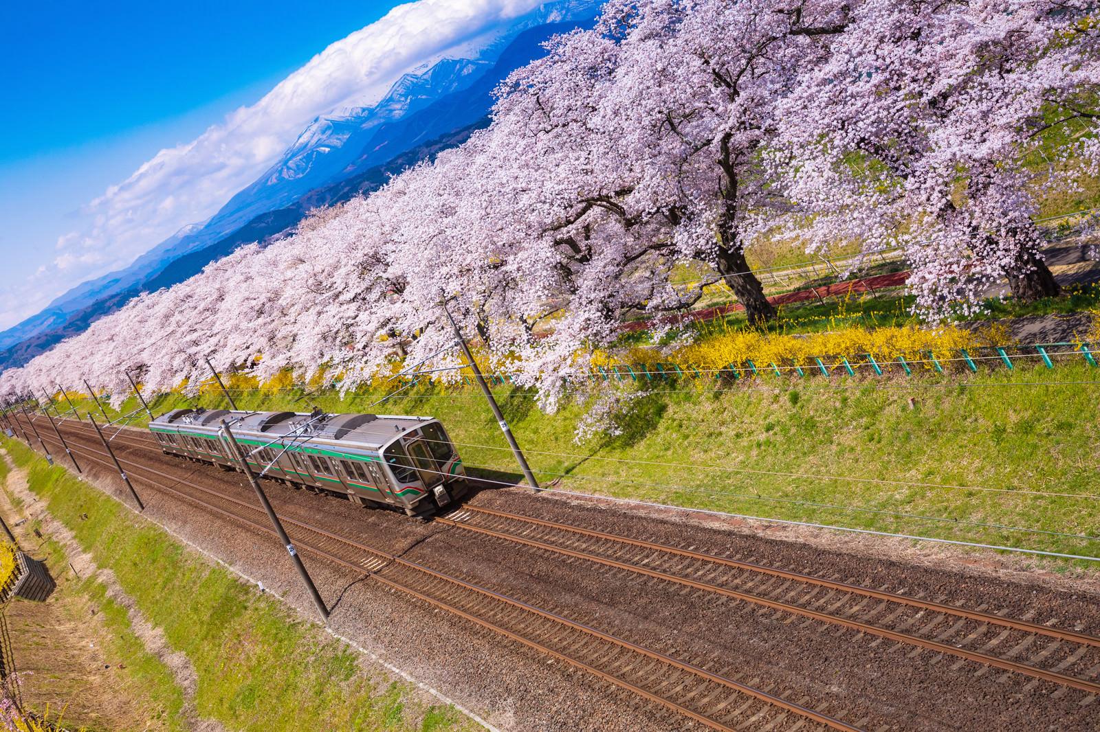 「桜並木と電車」の写真