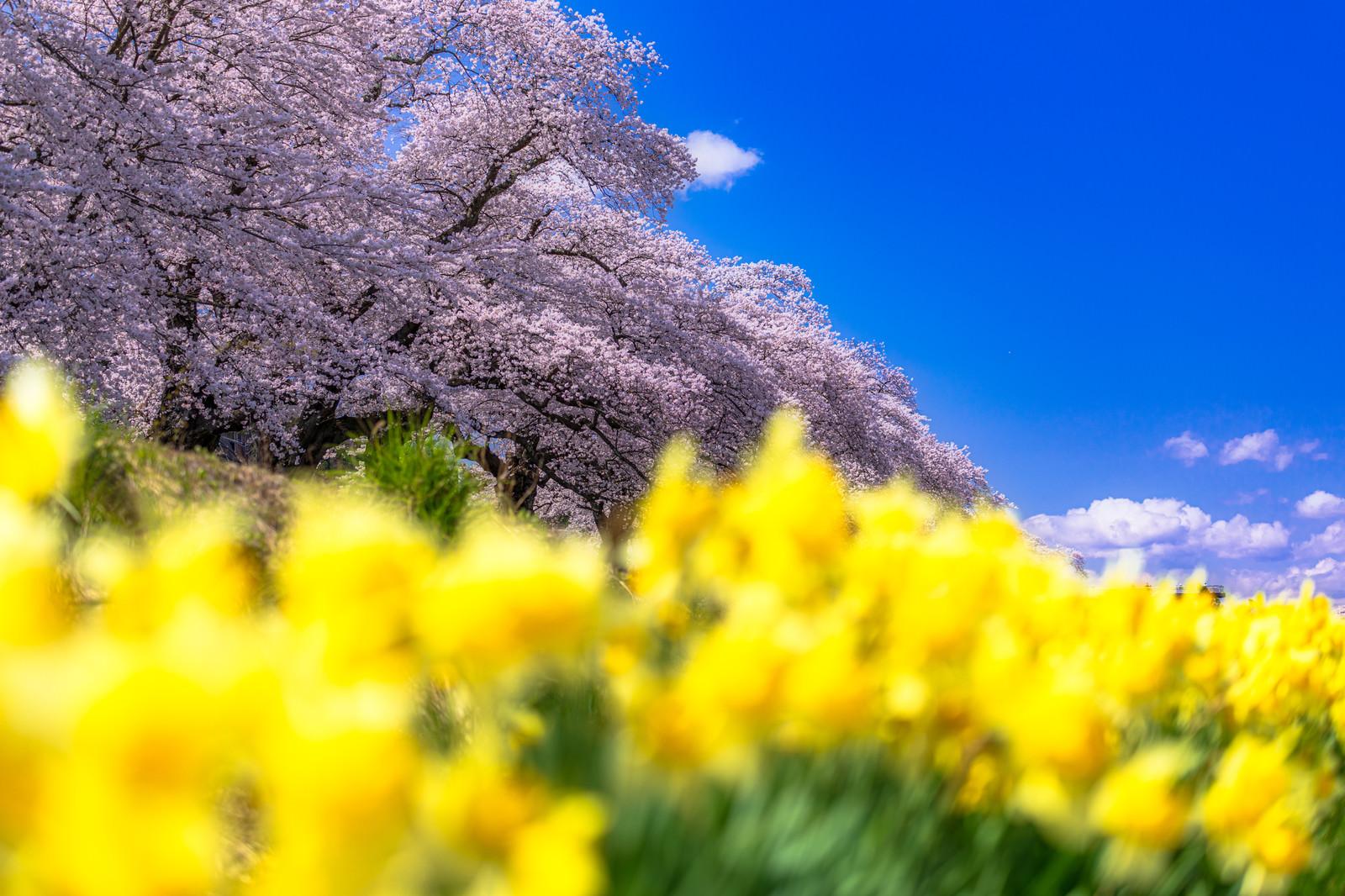 「桜並木と黄色い花」の写真