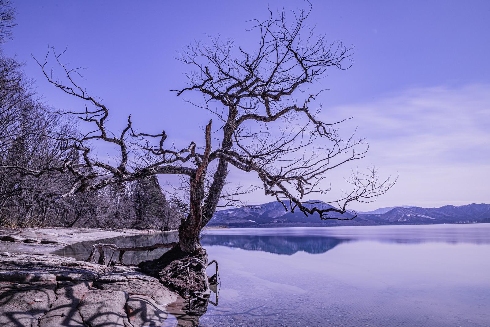 「田沢湖の枯れ木」の写真