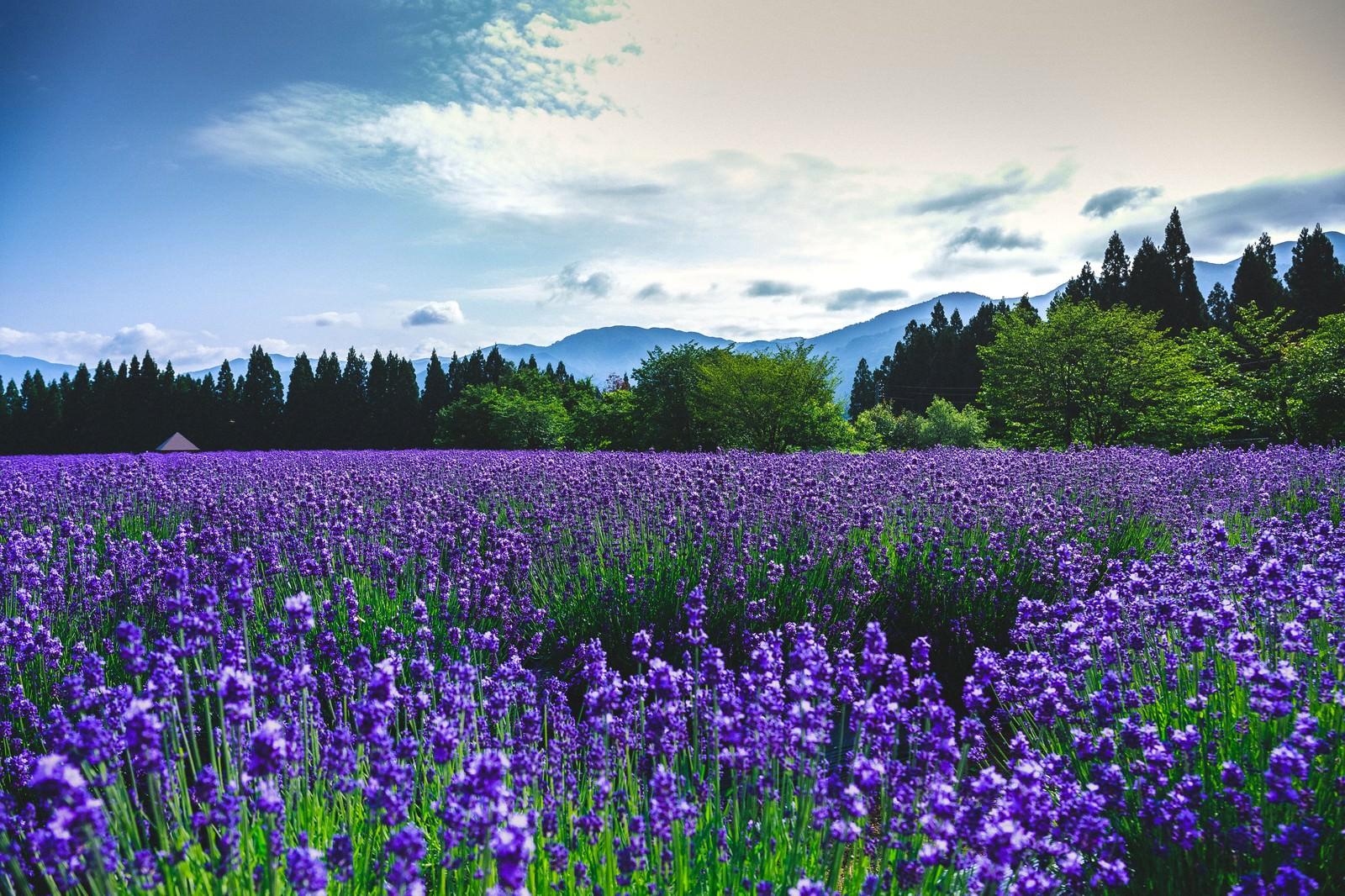 「東北秋田のラベンダー園」の写真