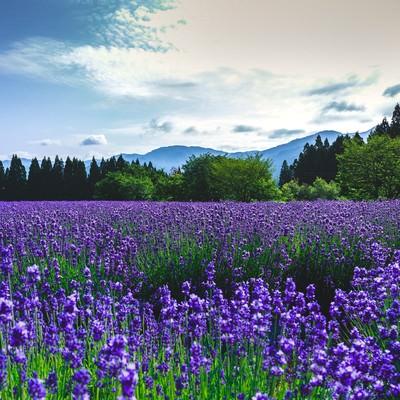 「東北秋田のラベンダー園」の写真素材