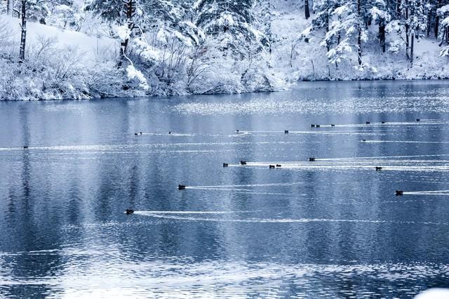 雪の中泳ぐカモの艦隊の写真