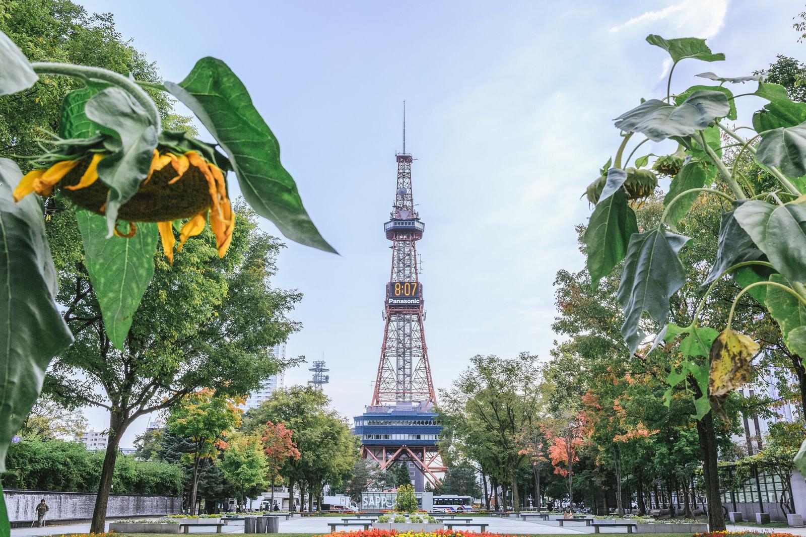 「うなだれた向日葵と大通公園(札幌)うなだれた向日葵と大通公園(札幌)」のフリー写真素材を拡大