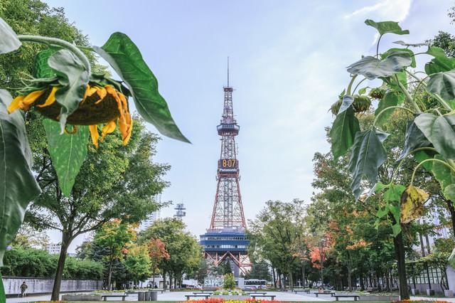うなだれた向日葵と大通公園(札幌)の写真