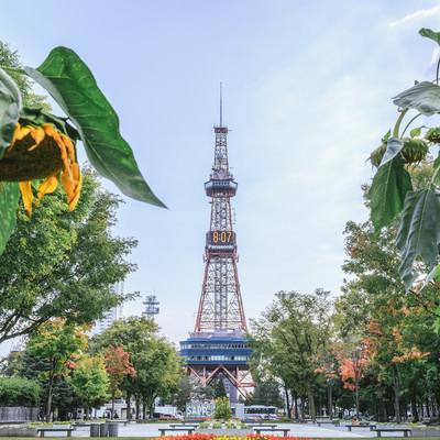 「うなだれた向日葵と大通公園(札幌)」の写真素材