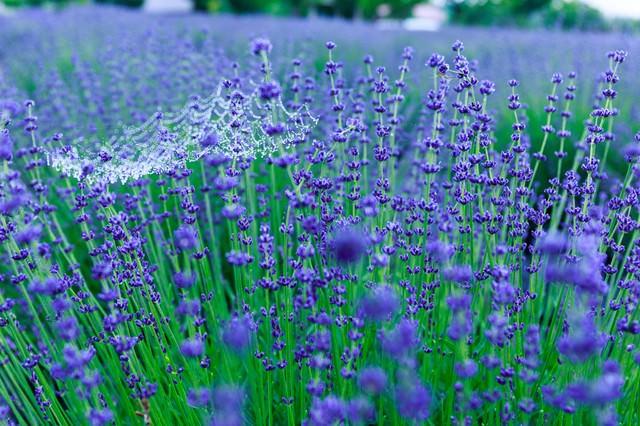 雨上がりのラベンダー園の写真