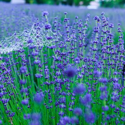 「雨上がりのラベンダー園」の写真素材