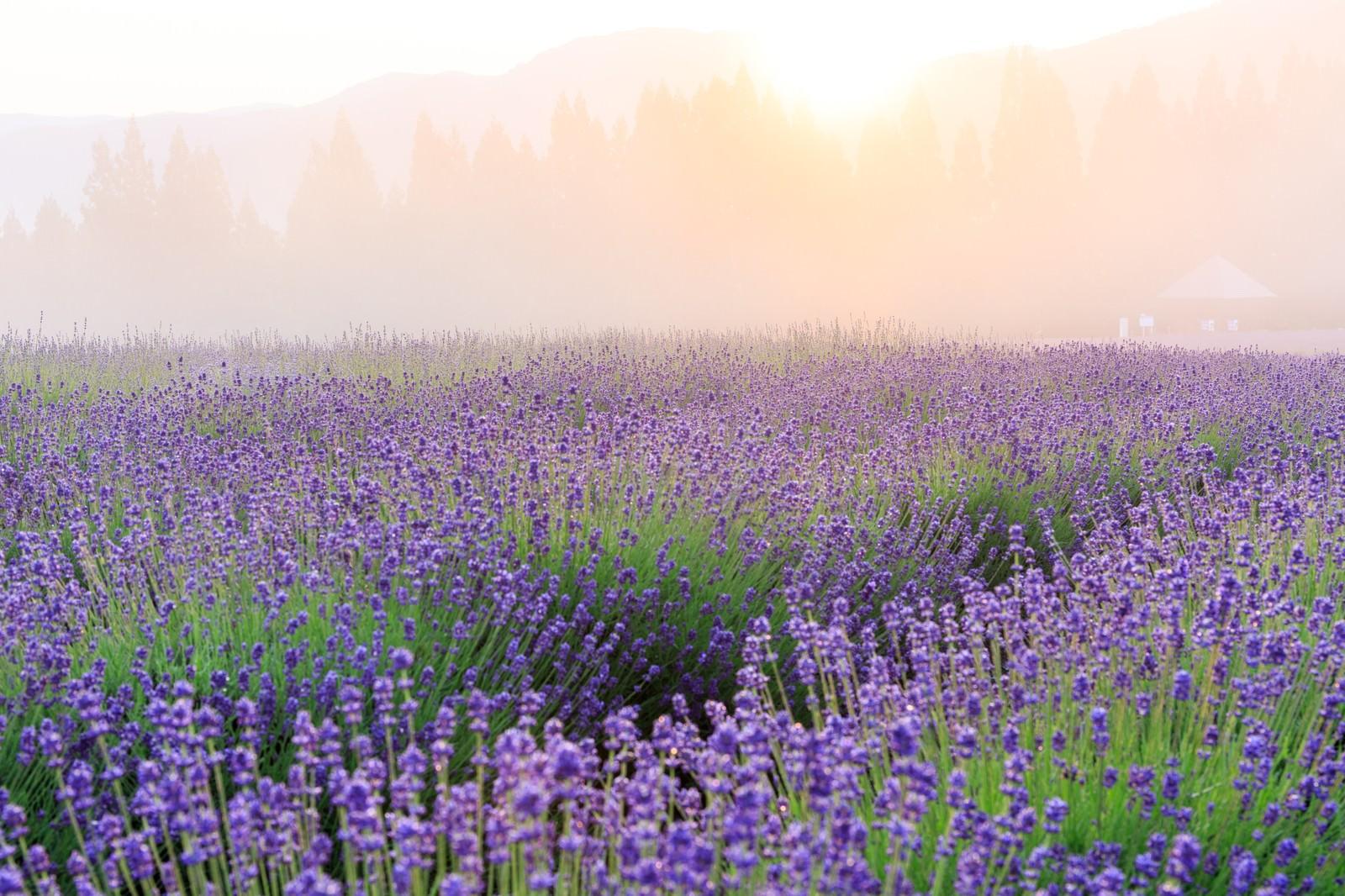 「朝霞の中のラベンダー」の写真