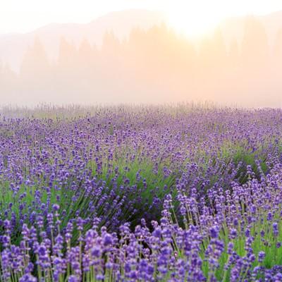 朝霞の中のラベンダーの写真