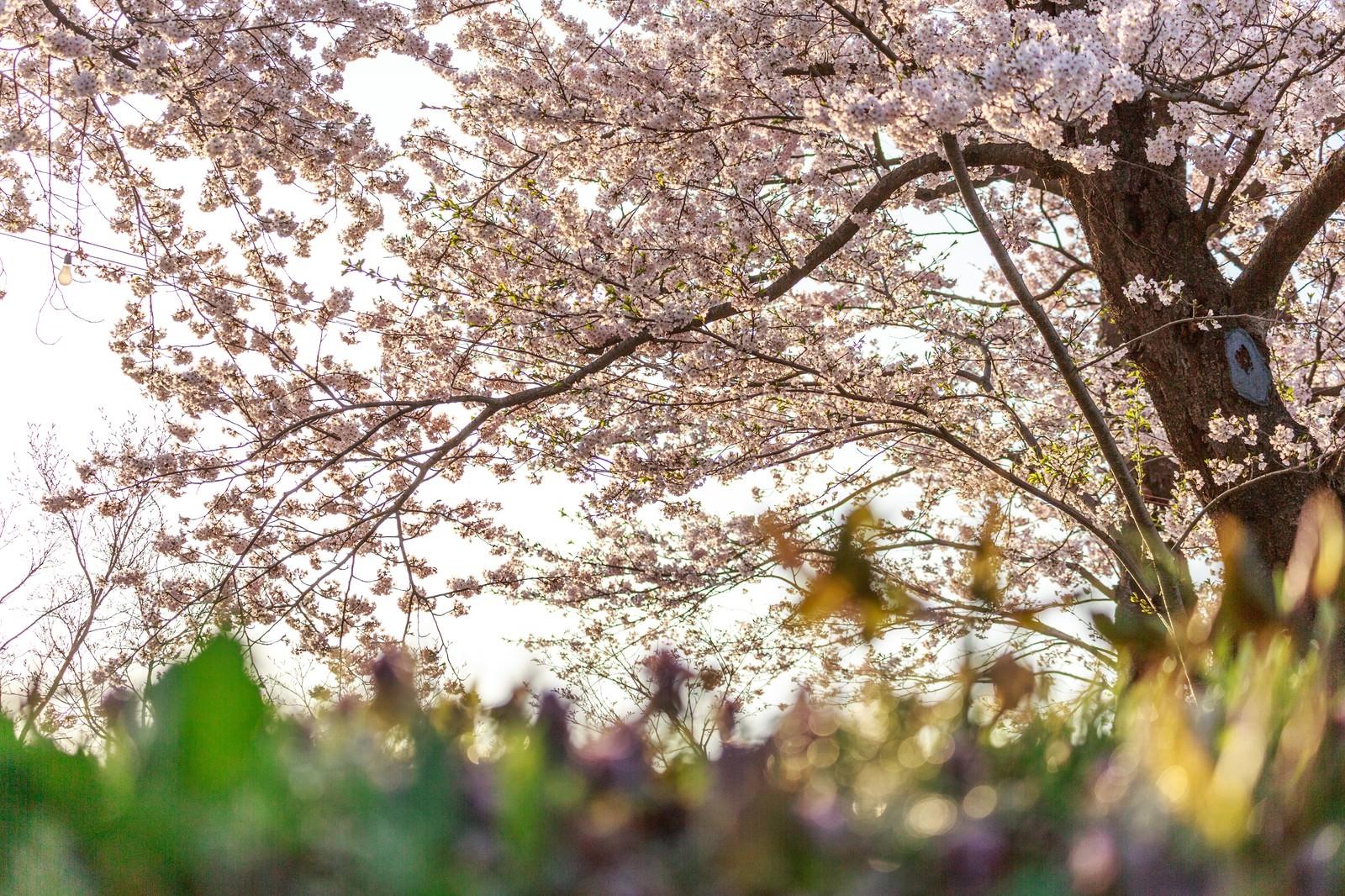 「桜の木の下で」の写真