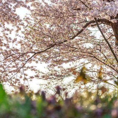 「桜の木の下で」の写真素材