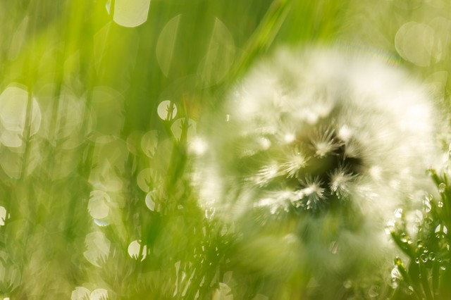 綿毛と雑草の写真