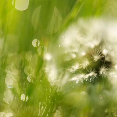 「綿毛と雑草」の写真素材