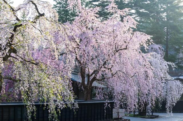 角館のシダレ桜の写真