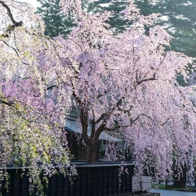 「角館のシダレ桜」の写真素材
