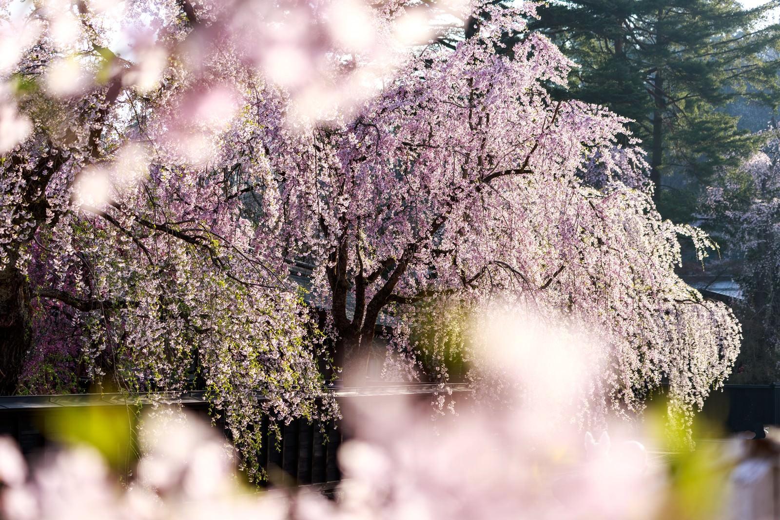 「満開の枝垂れ桜」の写真
