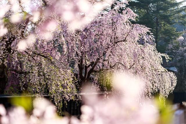 満開の枝垂れ桜の写真
