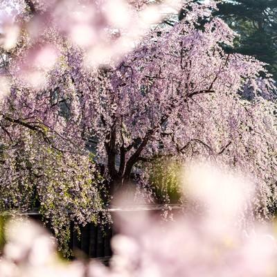 「満開の枝垂れ桜」の写真素材