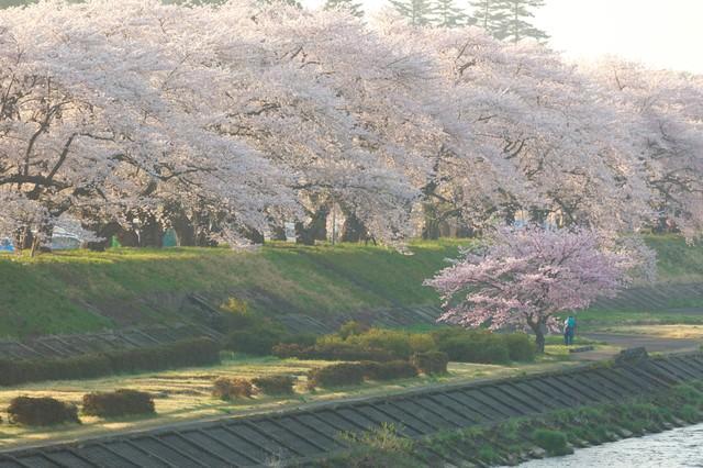 角館の朝と満開の桜並木の写真