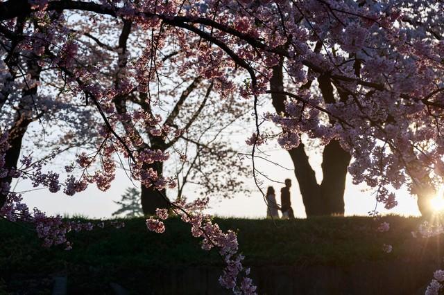 夕焼け桜と恋人のシルエットの写真