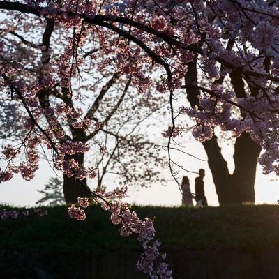 「夕焼け桜と恋人のシルエット」の写真素材