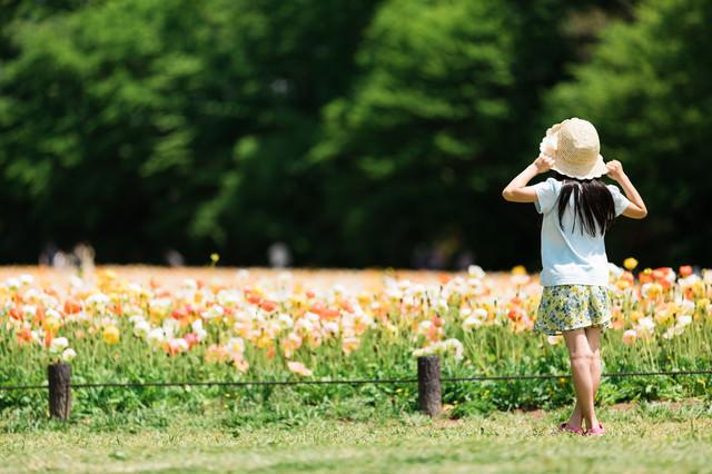 アイスランドポピーの花壇を見に来女の子の後ろ姿の写真