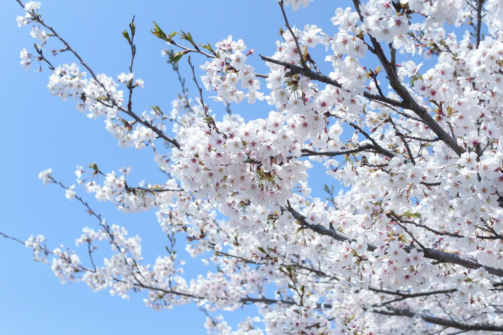 「咲溢れる桜咲溢れる桜」のフリー写真素材を拡大