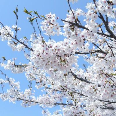 「咲溢れる桜」の写真素材