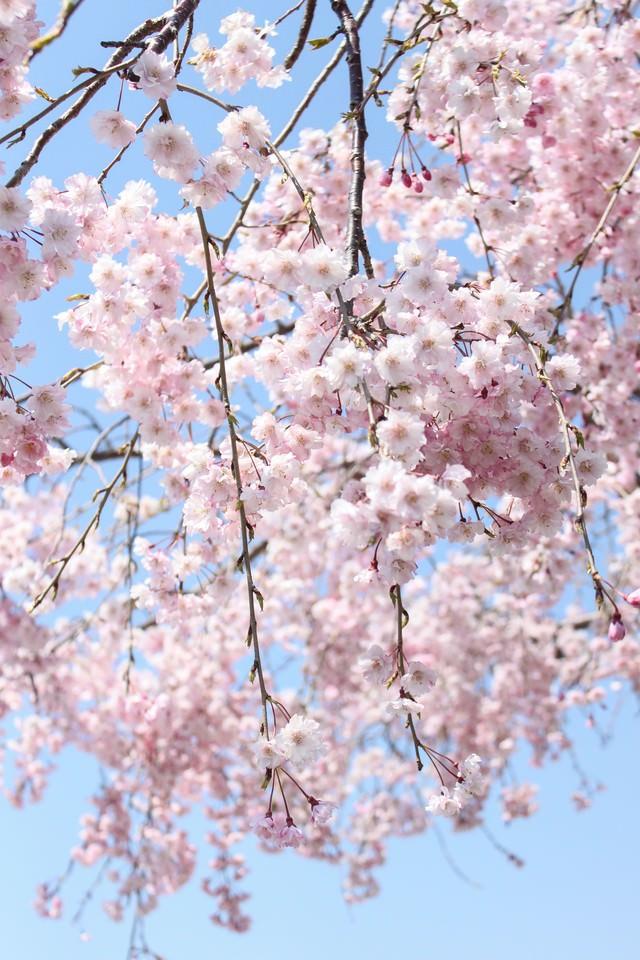 咲き枝たる桜の写真
